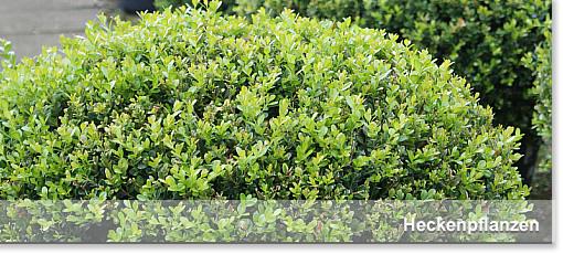 Heckenpflanzen - Frickes Gartencenter